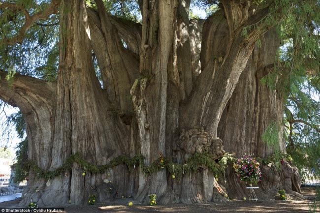 Ngỡ ngàng trước những cây cổ thụ kỳ dị nhất hành tinh-7