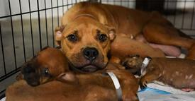 Brave mama dog carried her 4 puppies onto someone's porch to save them from rising floodwaters!