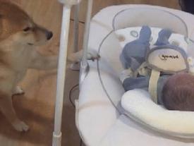 Chú chó ngồi canh giấc ngủ cho cậu chủ nhỏ 8 ngày tuổi