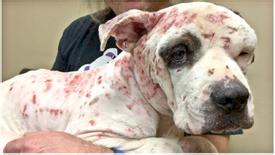 Justice for Liam – Memphis pit bull used as bait for fights!