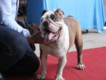 Ngắm 'mỹ khuyển' trong Hội thi Chó đẹp lần đầu tổ chức tại miền Tây