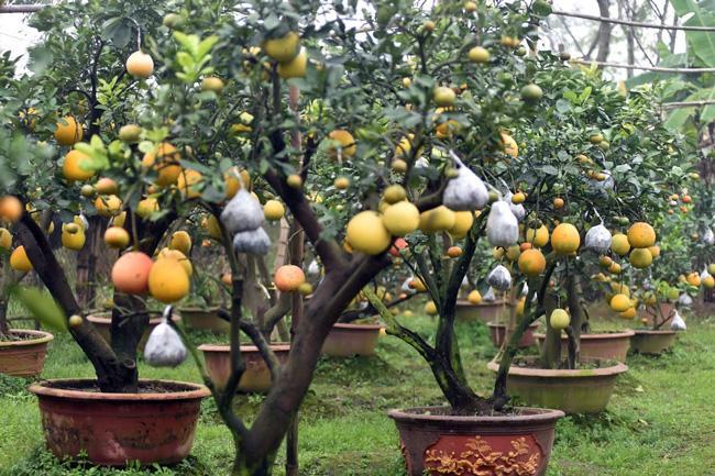 Clip: Độc đáo cây có 10 loại quả cùng chín rộ vào dịp Tết-1