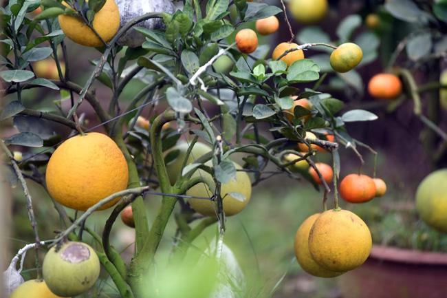 Clip: Độc đáo cây có 10 loại quả cùng chín rộ vào dịp Tết-2