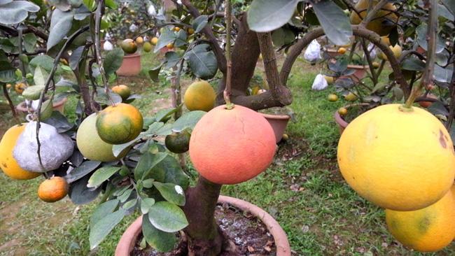 Clip: Độc đáo cây có 10 loại quả cùng chín rộ vào dịp Tết-5