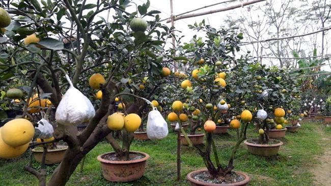 Clip: Độc đáo cây có 10 loại quả cùng chín rộ vào dịp Tết-6