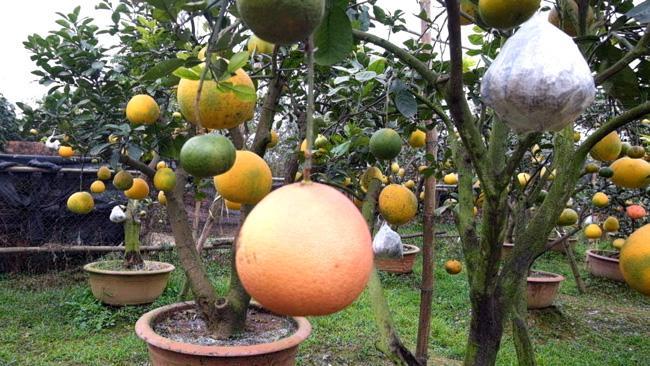Clip: Độc đáo cây có 10 loại quả cùng chín rộ vào dịp Tết-7