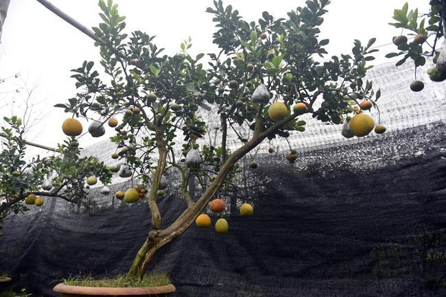 Clip: Độc đáo cây có 10 loại quả cùng chín rộ vào dịp Tết-8