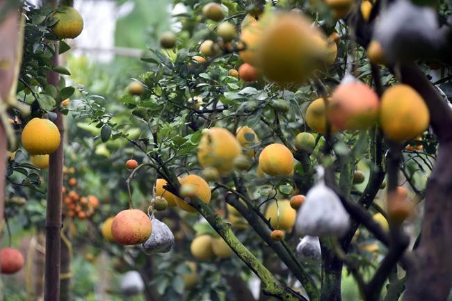 Clip: Độc đáo cây có 10 loại quả cùng chín rộ vào dịp Tết-9