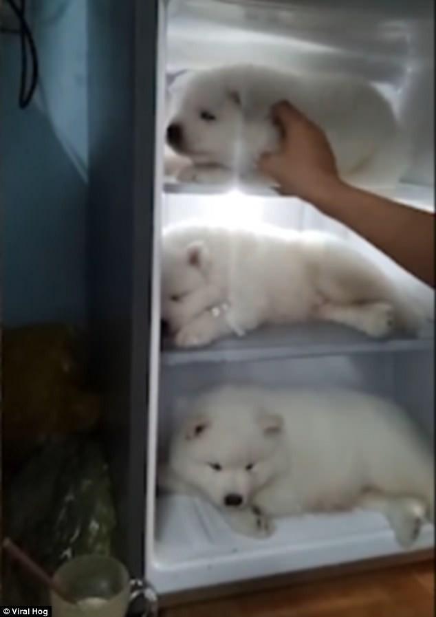Chàng trai Việt cho chó cưng ngủ trong tủ lạnh lên báo nước ngoài-1