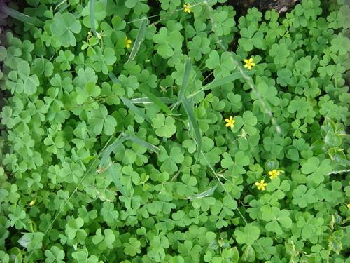 Bài thuốc từ cây chua me đất hoa vàng chữa viêm họng cực tốt-1