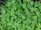 Bài thuốc từ cây chua me đất hoa vàng chữa viêm họng cực tốt