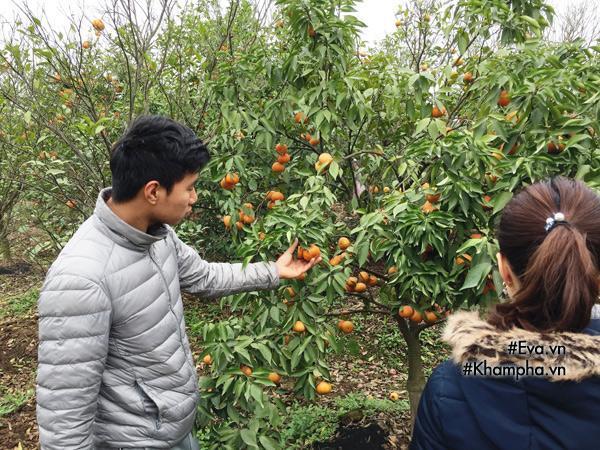 Cách phân biệt cam Canh chuẩn với cam Canh Trung Quốc-2