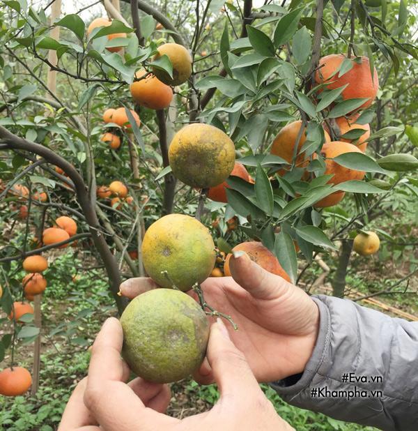 Cách phân biệt cam Canh chuẩn với cam Canh Trung Quốc-4