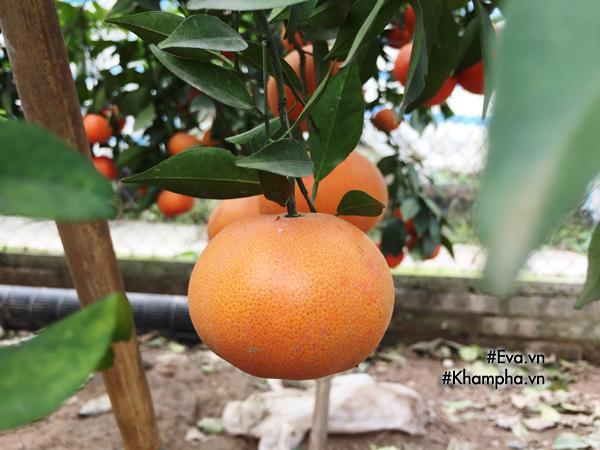 Cách phân biệt cam Canh chuẩn với cam Canh Trung Quốc-6