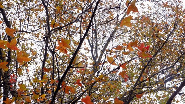Ít người biết, ngay gần Hà Nội đã có rừng phong lá đỏ-4