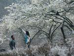 Lạc trôi vào rừng mơ trắng bồng bềnh trên cao nguyên Mộc Châu-6