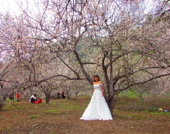 Lạc trôi vào rừng mơ trắng bồng bềnh trên cao nguyên Mộc Châu-3