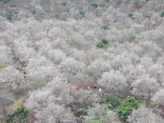 Lạc trôi vào rừng mơ trắng bồng bềnh trên cao nguyên Mộc Châu-5