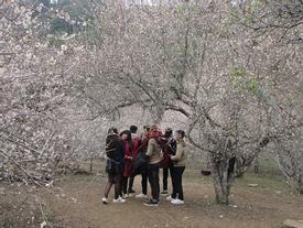 'Lạc trôi' vào rừng mơ trắng bồng bềnh trên cao nguyên Mộc Châu