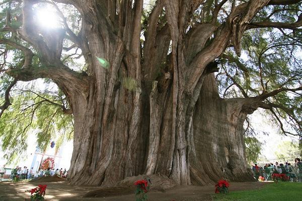 Kỳ lạ những điểm du lịch hút khách đến thăm chỉ vì… 1 cái cây-1