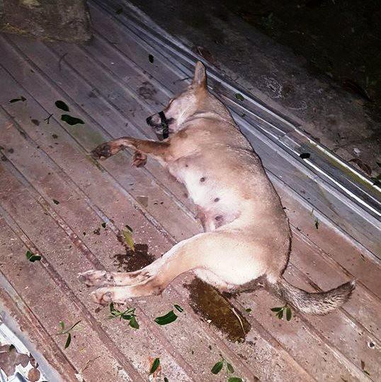 Trộm xong 4 con chó, 2 tên trộm gặp tai nạn bất tỉnh-2
