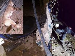 Ảnh HOT trong tuần: Cẩu tặc 'số nhọ', vừa trộm chó xong thì tai nạn bất tỉnh