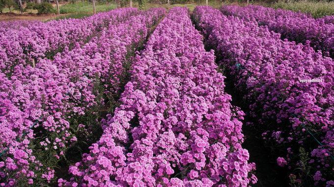 Vườn hoa thạch thảo tím lịm, đốn tim các thánh sống ảo-5