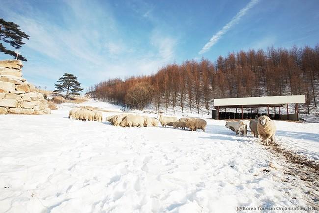 Đến Hàn Quốc, nhớ ghé trại cừu đẹp như phim mà Xuân Trường đã hẹn hò cùng bạn gái tin đồn-7