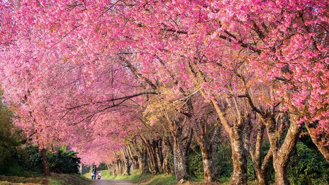 Tết này, dạo chơi ở thung lũng hoa đào dài vạn dặm-2