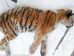 Đau miệng không ăn được, hổ hoang dã chạy vào làng cầu cứu người