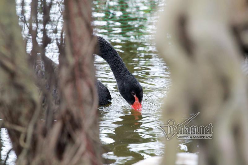 Hà Nội thả 12 con thiên nga châu Âu ở hồ Gươm-1