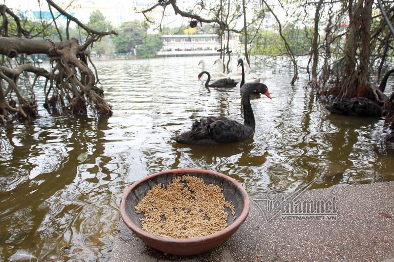 Hà Nội thả 12 con thiên nga châu Âu ở hồ Gươm-3
