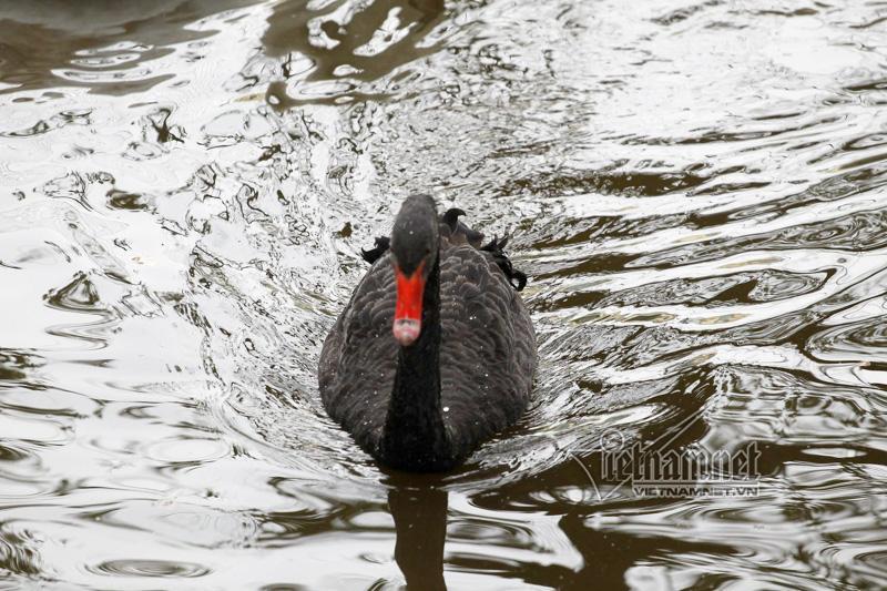 Hà Nội thả 12 con thiên nga châu Âu ở hồ Gươm-4
