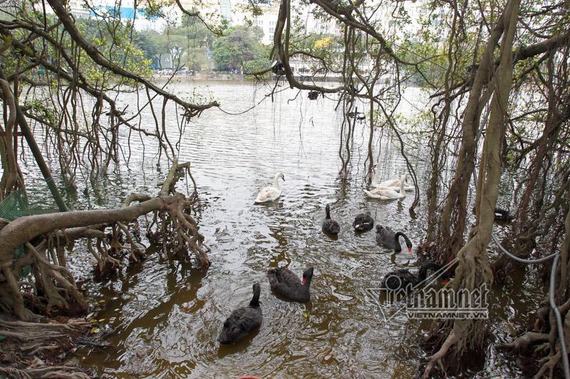Hà Nội thả 12 con thiên nga châu Âu ở hồ Gươm-6