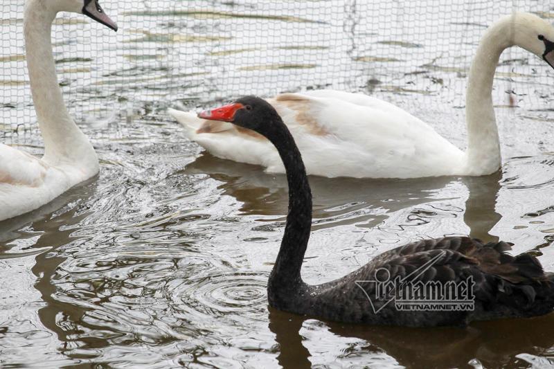 Hà Nội thả 12 con thiên nga châu Âu ở hồ Gươm-7