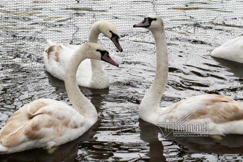 Hà Nội thả 12 con thiên nga châu Âu ở hồ Gươm-8