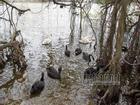 Hà Nội thả 12 con thiên nga châu Âu ở hồ Gươm