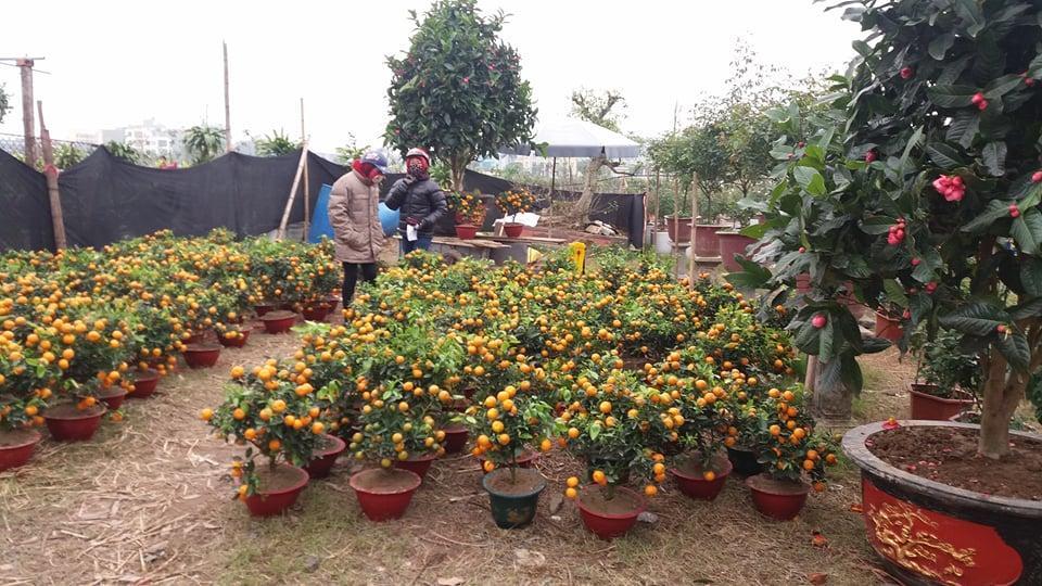 Mới 29 Tết lái buôn, nhà vườn đã xả hàng, bán chạy hoa, quất cảnh-1
