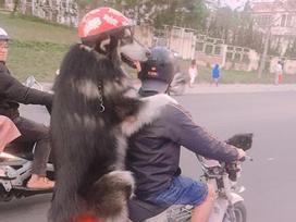 Chàng trai Đà Lạt đi xe cub chở thú cưng đội mũ bảo hiểm cực ngầu