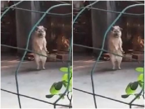 Không thể nhịn cười với chú chó nhảy theo nhạc