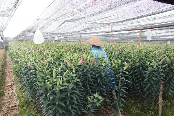 Hà Nội: Hoa ly nở rộ sau tết, dân khóc ròng vì bán chẳng ai mua-2