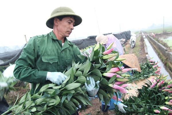 Hà Nội: Hoa ly nở rộ sau tết, dân khóc ròng vì bán chẳng ai mua-4