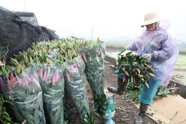 Hà Nội: Hoa ly nở rộ sau tết, dân khóc ròng vì bán chẳng ai mua-5