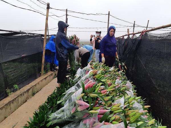 Hà Nội: Hoa ly nở rộ sau tết, dân khóc ròng vì bán chẳng ai mua-6