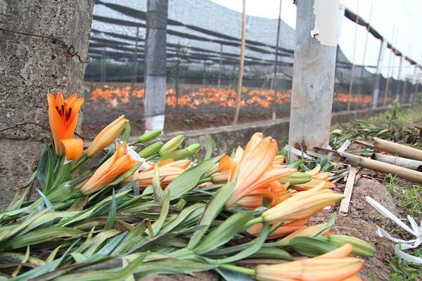 Hà Nội: Hoa ly nở rộ sau tết, dân khóc ròng vì bán chẳng ai mua-8
