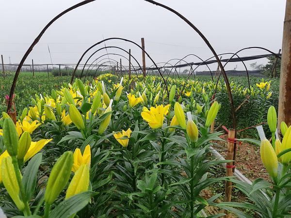 Hà Nội: Hoa ly nở rộ sau tết, dân khóc ròng vì bán chẳng ai mua-9