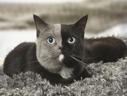 Chùm ảnh về chú mèo 'hai mặt' đáng yêu nhất thế giới