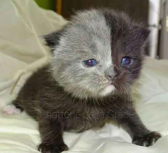 Chùm ảnh về chú mèo hai mặt đáng yêu nhất thế giới-2