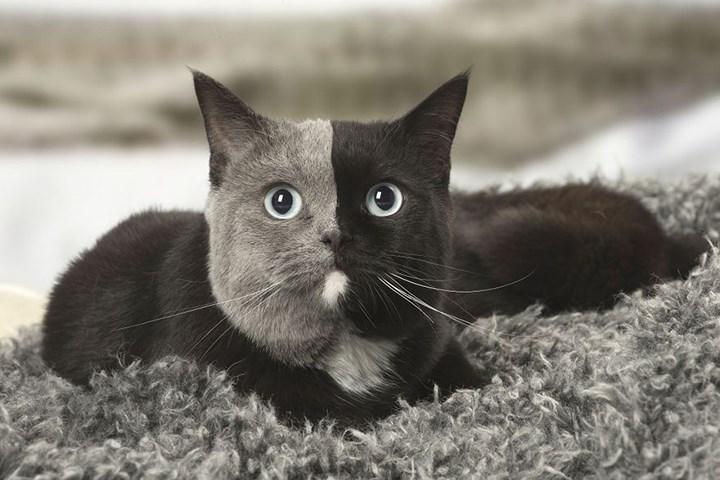 Chùm ảnh về chú mèo hai mặt đáng yêu nhất thế giới-4