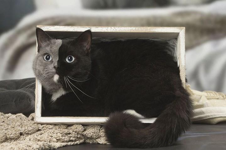 Chùm ảnh về chú mèo hai mặt đáng yêu nhất thế giới-5